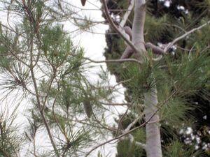 Pinus halepensis 2