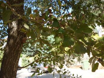 Quercus ithaburensis kdumim 03