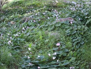 Myrsinaceae 05