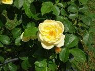Rosa Medaglia d'oro Sarmentose