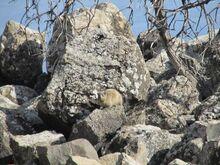 שפן הסלע