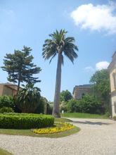 Orto Botanico di Pisa palma dei cile a