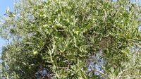 Olives tree from kedumim 4