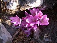 Colchicum feinbruniae 2