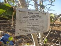 Ficus sycomorus neot kedumim 1