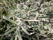 Echium angustifolium kdumim december 2014 b