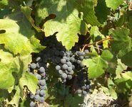 Fatgiyah vineyard11