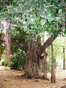 Ficus benghalensis mikve israel1