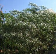 Arava baruch
