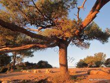 העץ במצפה משמר הכרמל מבט מקרוב