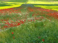 Castelluccio colza selvatica Hochebene in Castelluccio Umbria