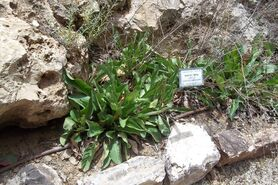 Limonium narbonense