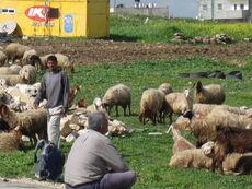 Palestine shepherd 2