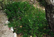 Trifolium purpureum3