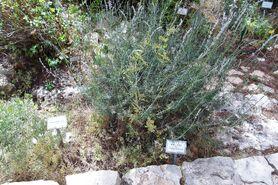 Botanic garden teucriun creticum