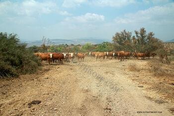 פרות בעין חדה
