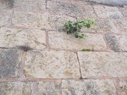 Capparis spinosa jerusalem 3