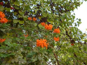 Centranthus ruber1