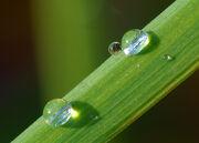 Dew on grass Luc Viatour.jpg
