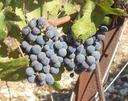 Fatgiyah vineyard8