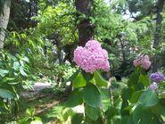 Hydrangea orto botanico milano 04