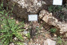 Botanic garden Limonium sinuatum