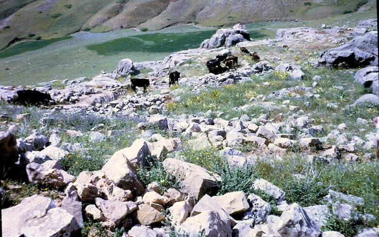 פרות בהר החרמון