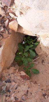 מתחת לסלע צומחת