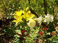 Lilium from kedumim Israel 3