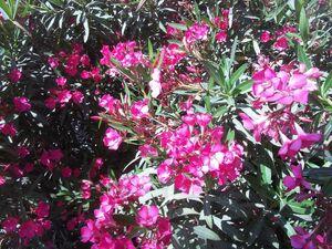 Nerium oleander kdumim c