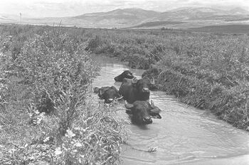 WATER BUFFALOS DELVING IN THE MUDDY WATER OF THE HULA SWAMPS. תאו שוחים בתוך המים הבוציים של החולה.D20-050