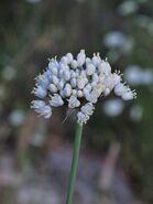 Allium carmeli 2