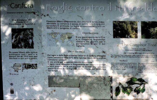 Cinnamomum camphora orto botanico di Pisa.jpg
