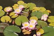 Water Lily floaers