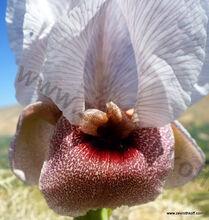 Iris samariae Dinsm 2