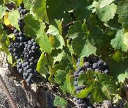 Fatgiyah vineyard7