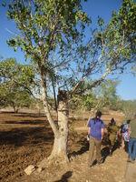 Ficus sycomorus neot kedumim 4