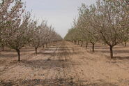 Prunus dulcis Arad valley Israel 02