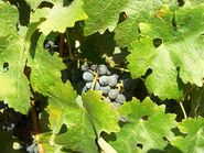 Fatgiyah vineyard6