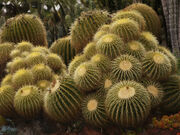 Golden Barrel cactus, Huntington Desert Garden