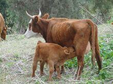 פרה ועגלה בחיק הטבע