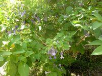 Orto botanico di Pisa dunalia australis 05
