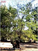 AcaciaNilotica 150x200k-n 16-12-07 01.jpg