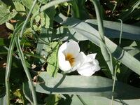 Crocus hyemalis flowers from kdumim winter 2014 010