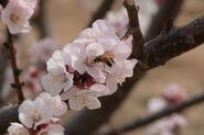 Prunus dulcis Arad valley Israel 07