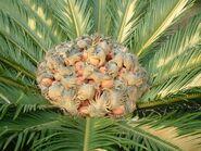 Cycas revoluta female cone01