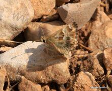 פרפר במדבר