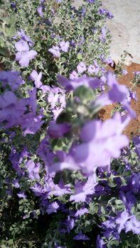 Leucophyllum rhashi kdumim 02