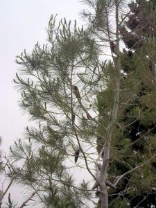 Pinus halepensis 1