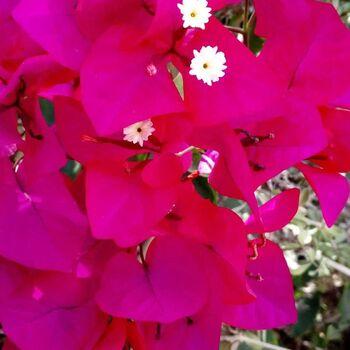 Bougainvillea peruviana Carme kedem